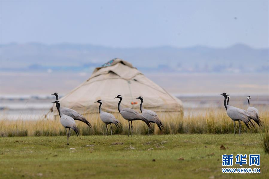 9月11日在新疆哈密巴里坤哈萨克自治县草原上拍摄的蓑羽鹤。近日,大批蓑羽鹤在新疆巴里坤草原停留。在蓝天白云和大地的衬托下,一幅美丽的自然画卷尽收眼底。新华社发(达吾提·热夏提 摄)