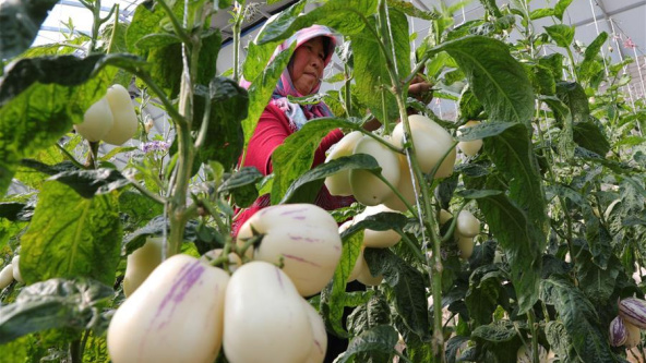 Fruit cultivation boosts local farmers' incomes in China's Gansu